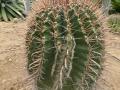 Ferocactus wislizeni v.herrerae