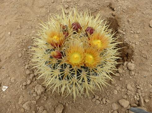 ferocactus chrysacanthub