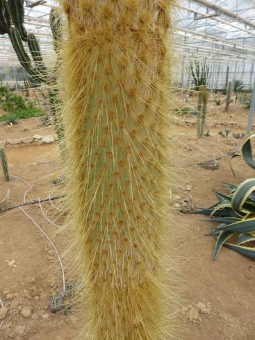 opuntia galapageia tronc