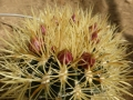 ferocactus chrysacanthus 2