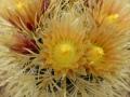 ferocactus chrysacanthus fleur