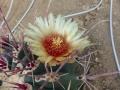 ferocactus rectispinus fleur