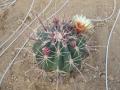 ferocactus rectispinus