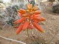 Aloe Xfire bird