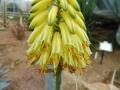 Aloe alfredii
