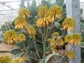 Aloe capitata X