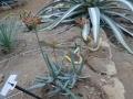 Aloe hoffmannii
