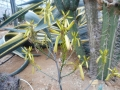 Aloe labworana