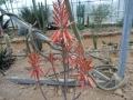 Aloe manandonae