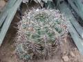 Gymnocalycium brachyanthum