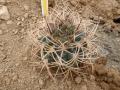 Gymnocalycium guanchinense P 226