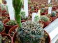 Gymnocalycium leptanthum