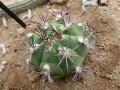 Gymnocalycium marquezii v.argentinense