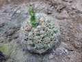 Gymnocalycium netrelianum