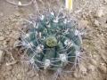 Gymnocalycium nigriareolatum