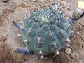 Gymnocalycium schickendantzii ssp.delaetii