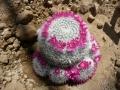 Mammillaria albata