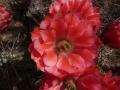 Echinocereus polyacanthus v.gilbertus