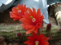 Echinocereus scheerii v.koehresianus