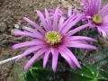 Echinocereus vierecki v.morricallii