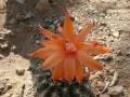 Matucana grandiflora