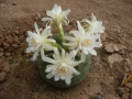 Matucana madisoniorum v.albiflorum