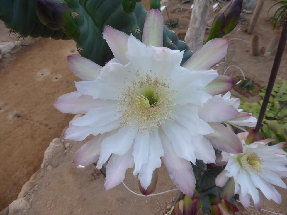 cereus forbesii spiralis