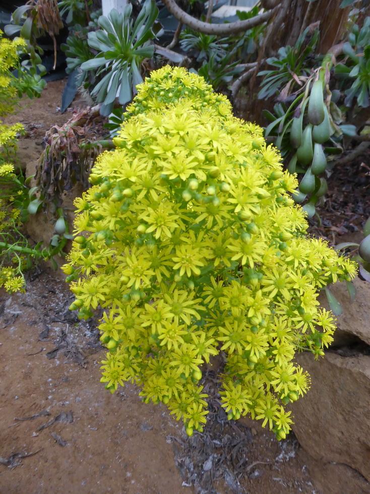 Aeonium arboreum v.purpureum