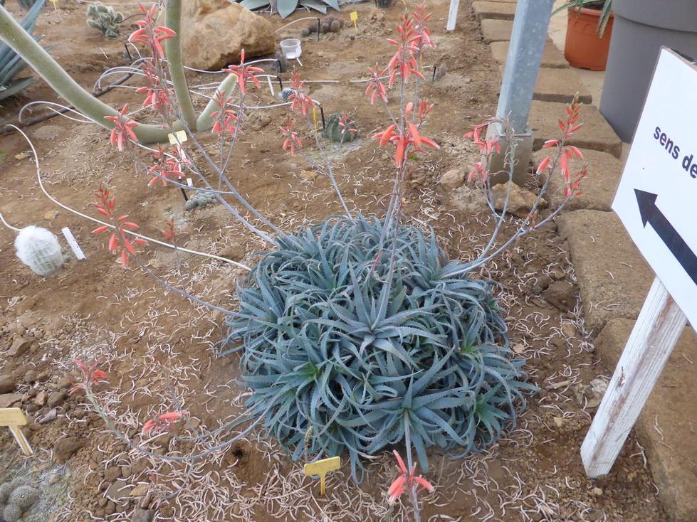 Aloe X parvula
