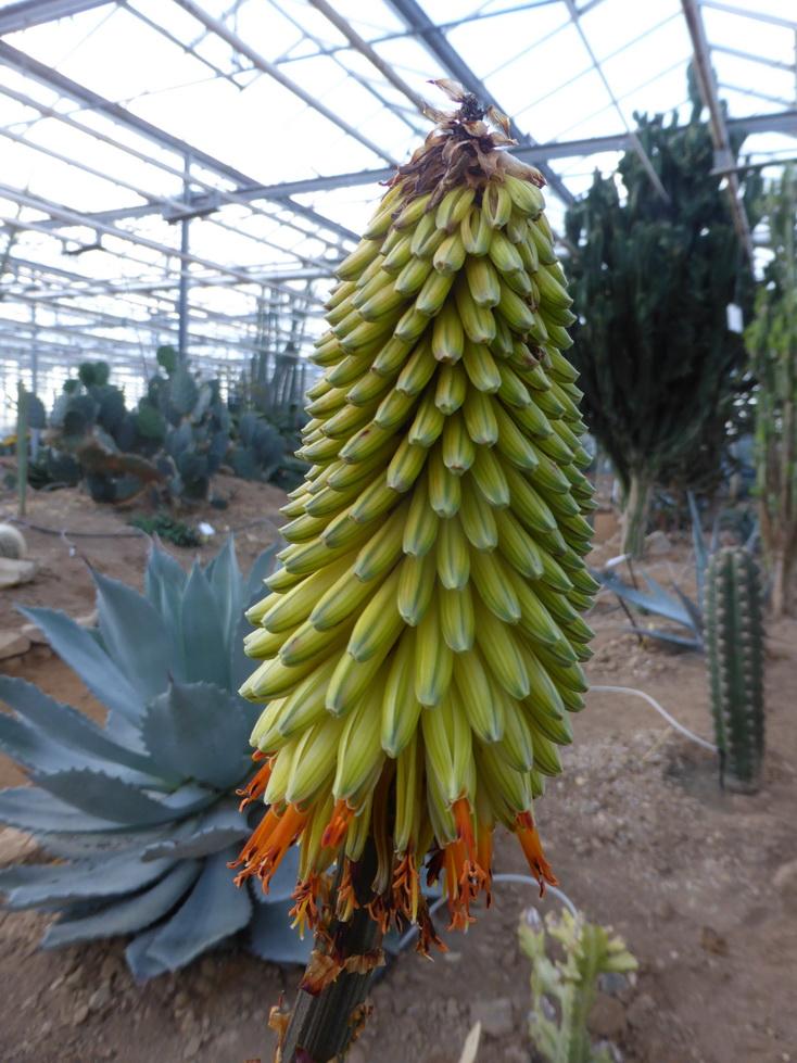 Aloe aculeata crousiana