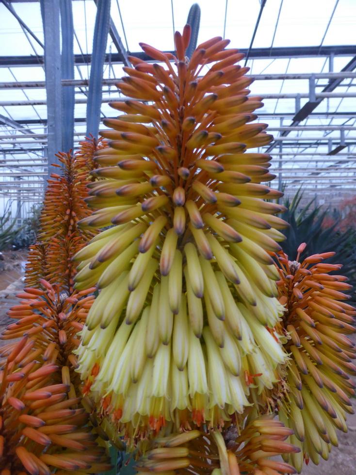Aloe ampefyana