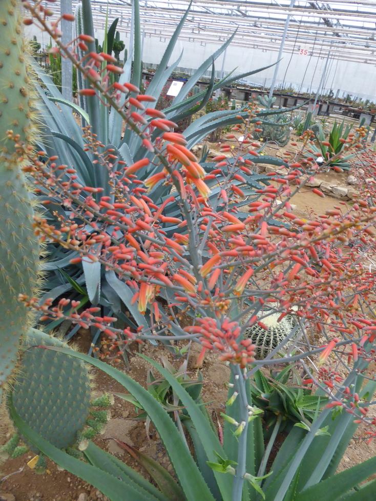 Aloe bulbilifera