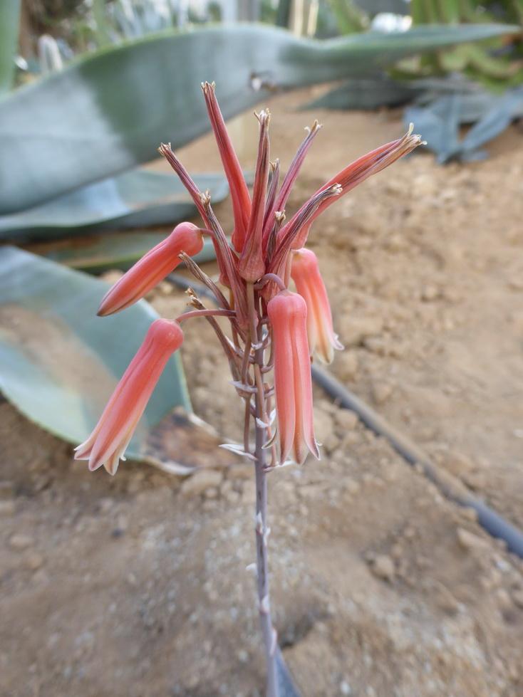 Aloe imalotensis longeracemosa
