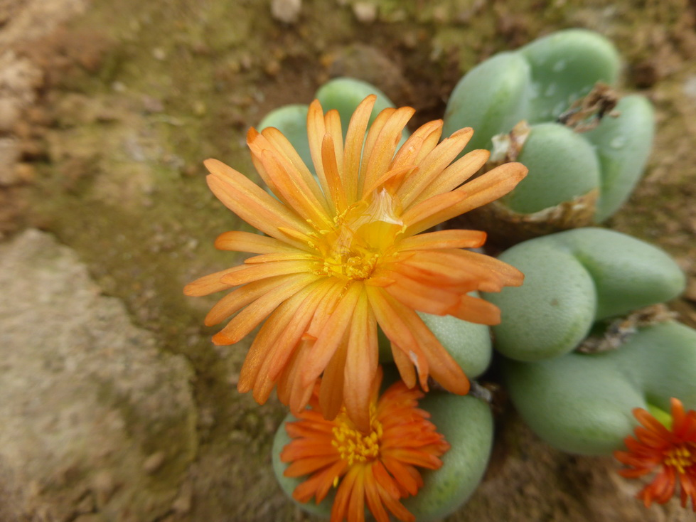 conophytum-bilobum