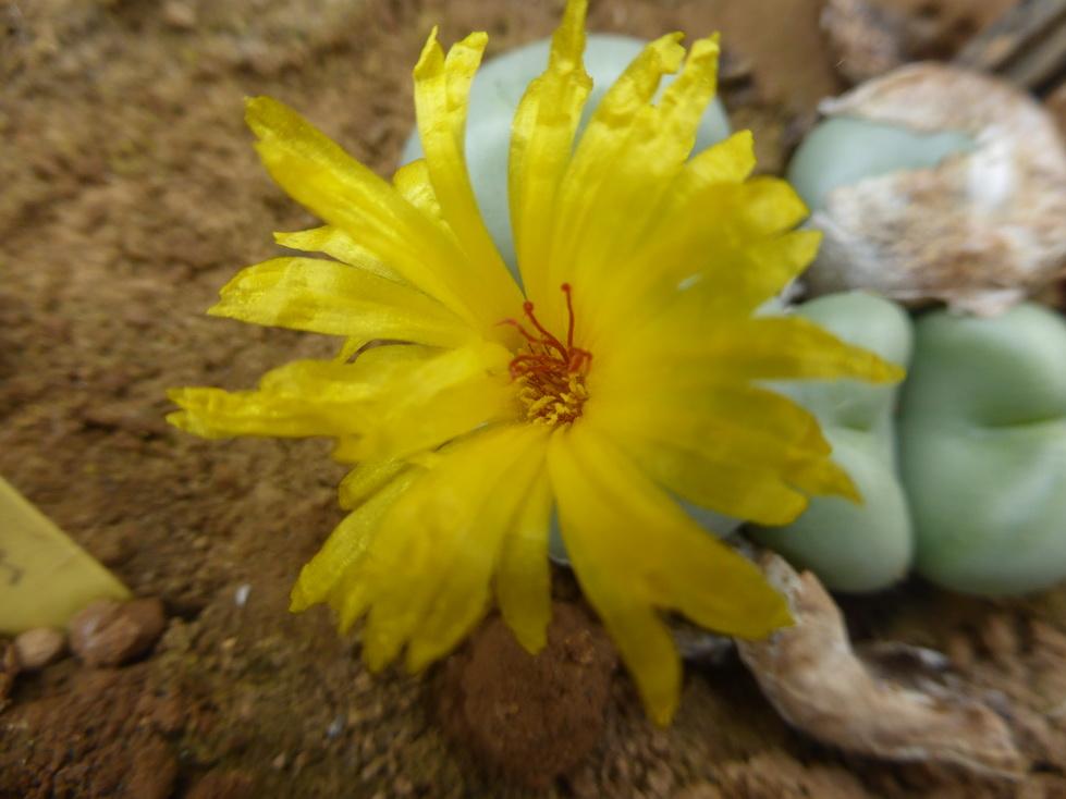 conophytum-ornatum