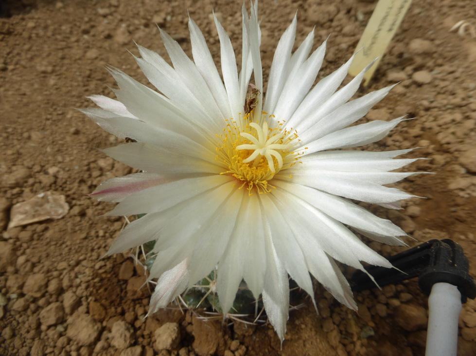 Coryphantha maiz tablasensis