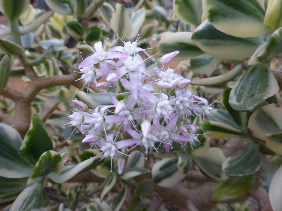 Crassula ovata tricolor