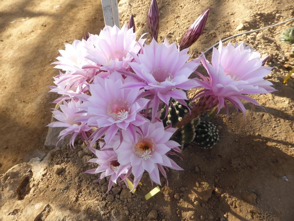 Echinopsis millarensis X