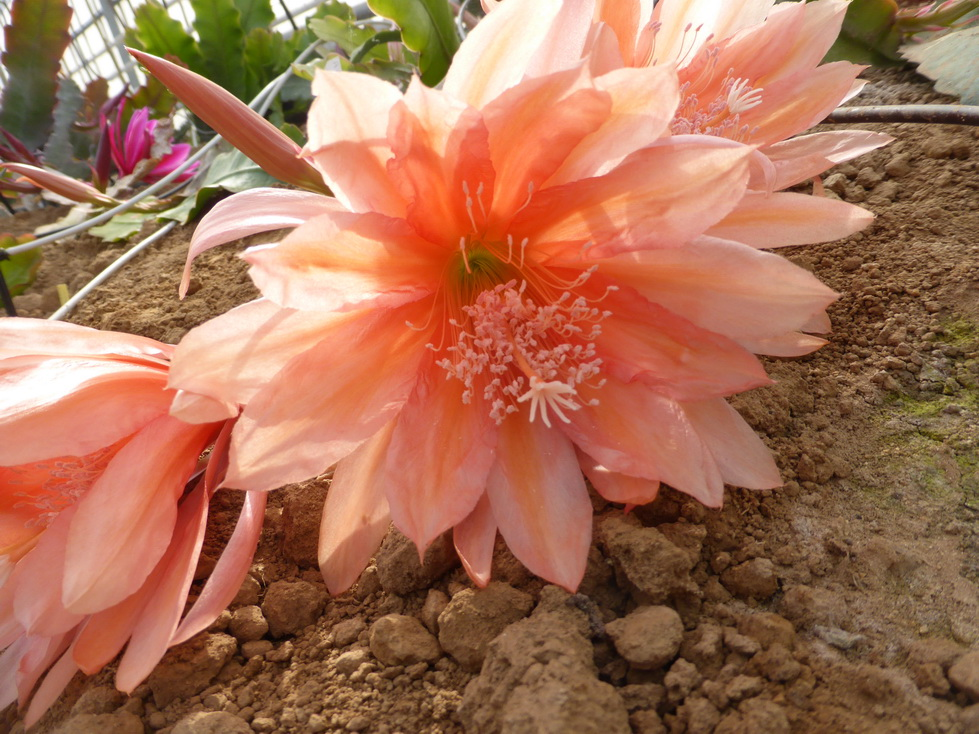 Epiphyllum appeal