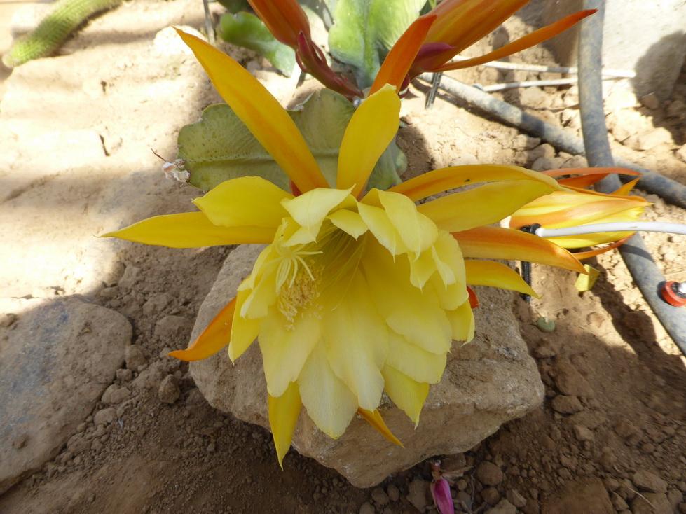 Epiphyllum granona sun shine
