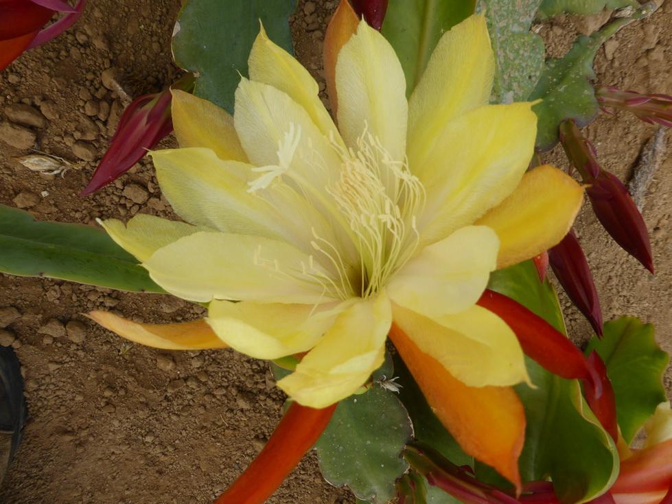 Epiphyllum oakleigh dominator
