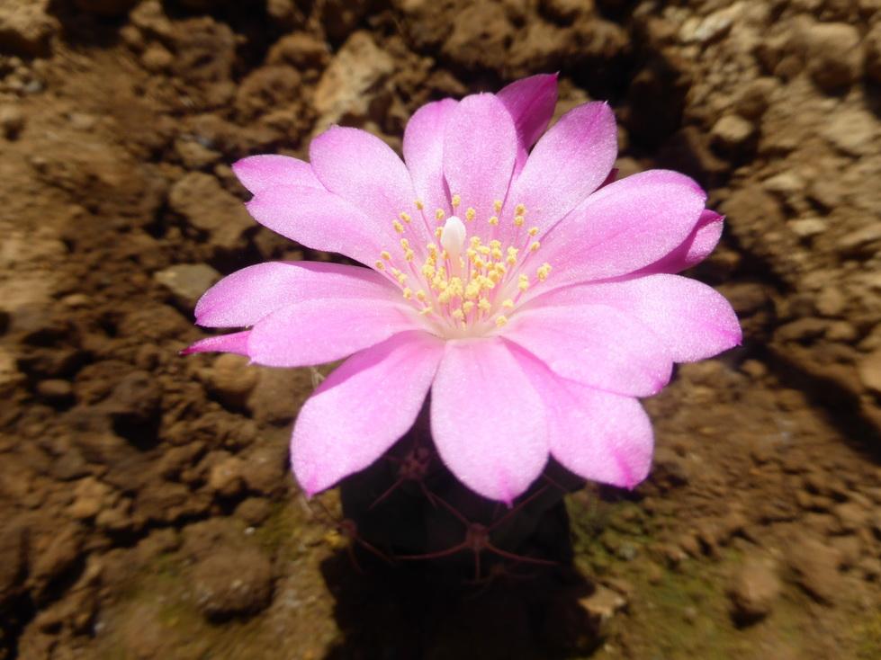 Matucana oreodoxa roseiflora