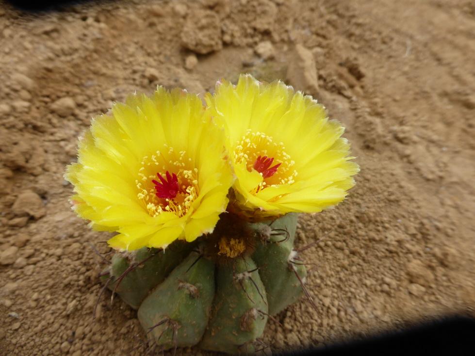 Notocactus acutus