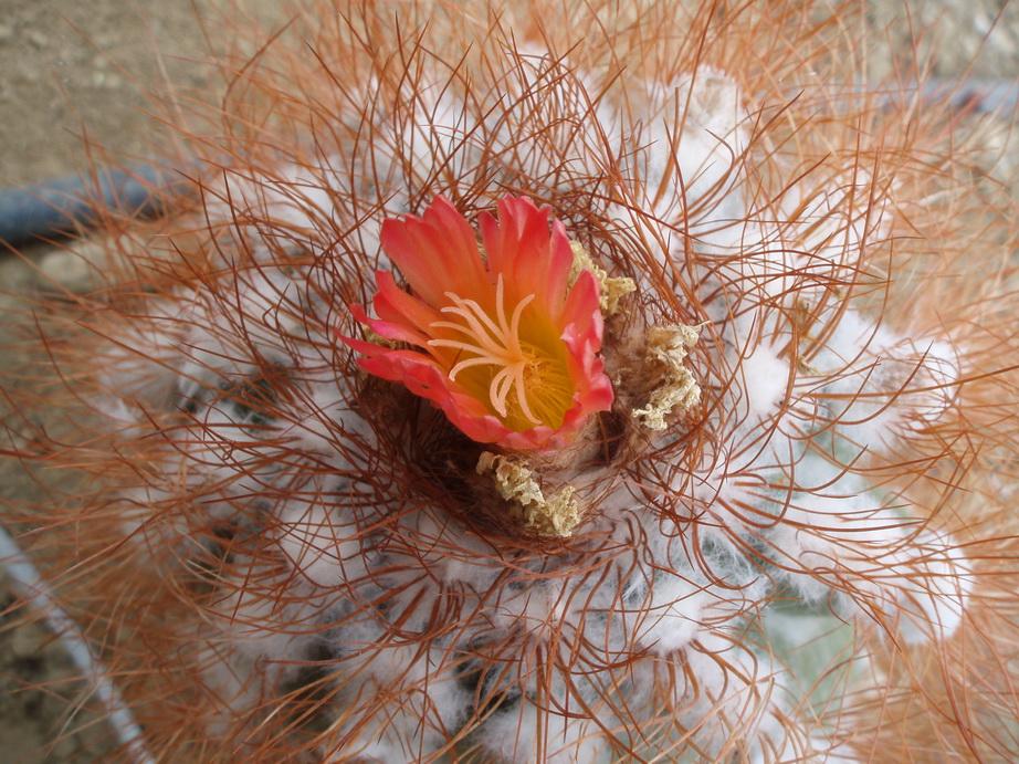 Notocactus horstii v.purpureus