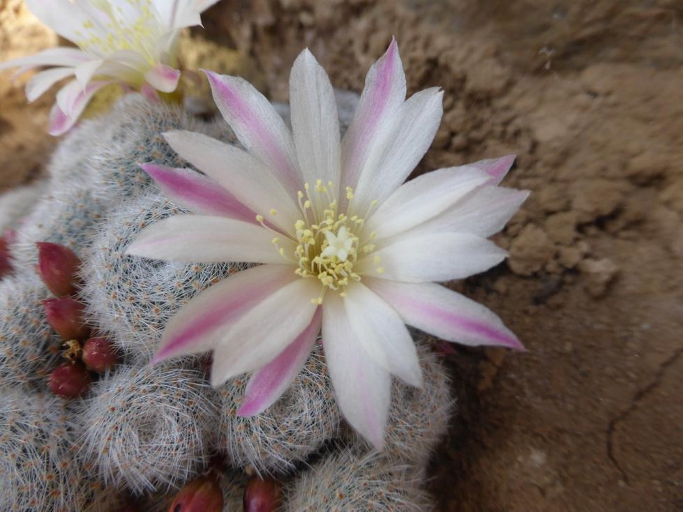 Rebutia heliosa X albiflora