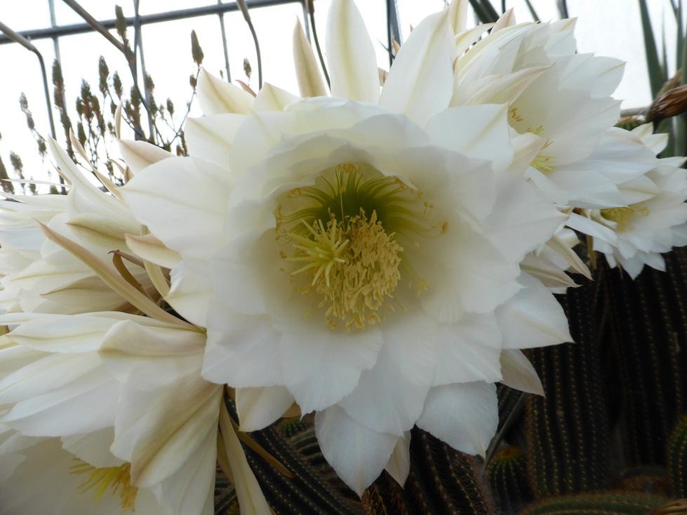 Trichocereus schickendantzii fleur