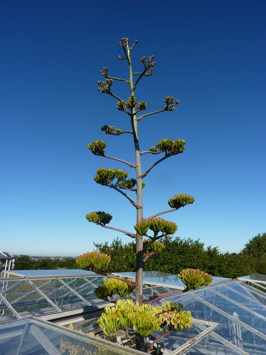 agave hookeri