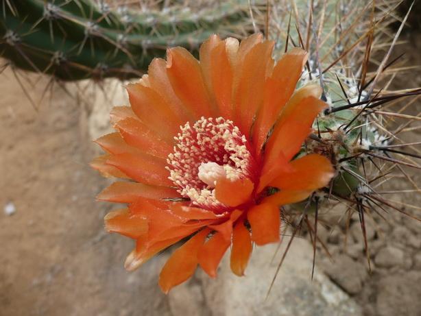 Corryocactus tarijensis
