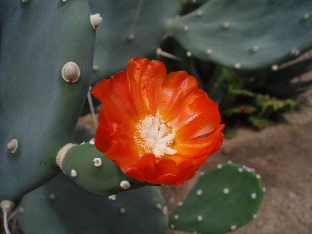 opuntia-quimilo