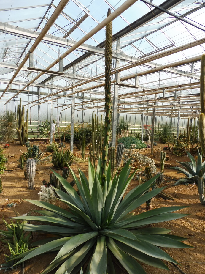 Agave obscura
